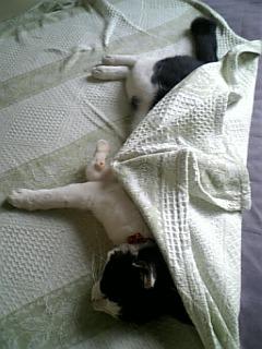 自分で布団をかける猫