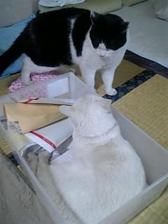 箱入り猫バトル