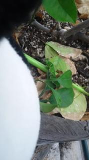 柚子の葉は食べず