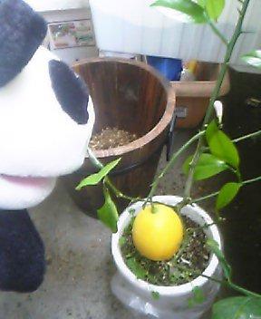 新しいレモン、20チャリン