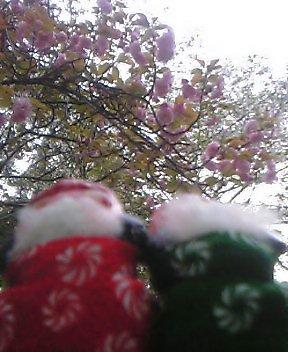 八重桜は今が盛り