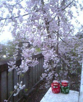 枝垂れ桜も満開